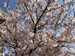 桜。.jpg